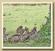 baboons in National Parks