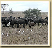 cape buffalos in the selous game reserve