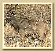 kudu in the ruaha national park