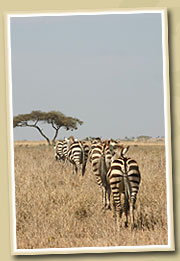 zebra crossing the serengeti national park
